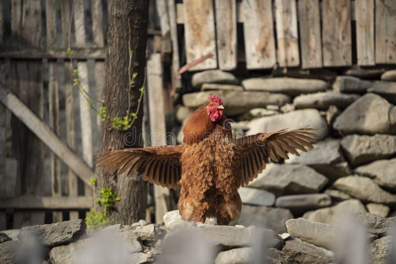 Un grande gallo rosso che sembra difensivo con le ali aperte e pronto ad attaccare fotografia stock
