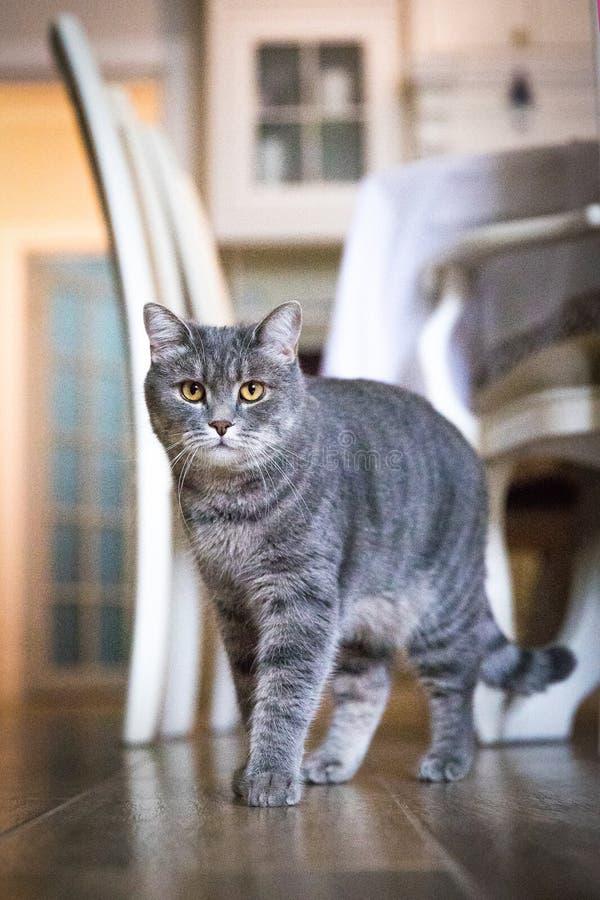 Un grande gatto grigio sta nella stanza e guarda fotografie stock