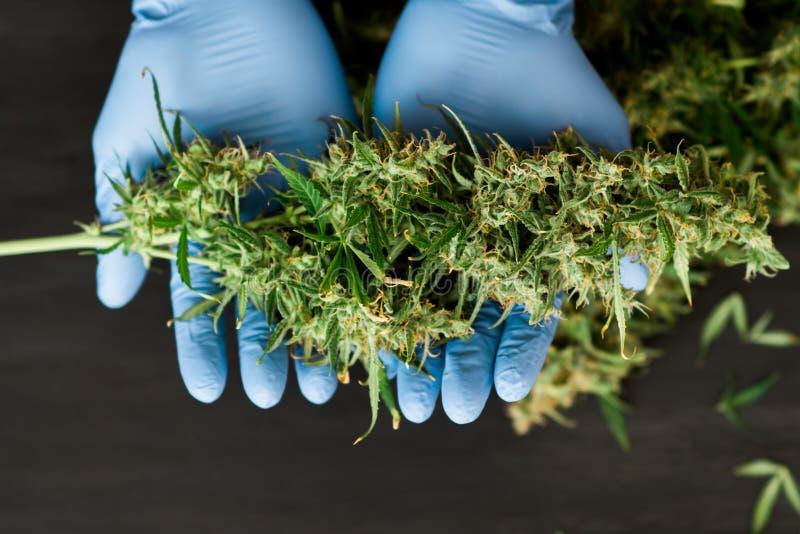Un grande germoglio del raccolto fresco della cannabis nelle mani dei concetti di un lavoratore medico di medico di coltivazione  fotografia stock libera da diritti