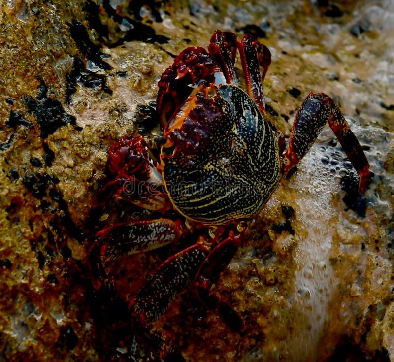 Un grande granchio striscia sopra le rocce che allineano Boca Raton, entrata di Florida fotografia stock