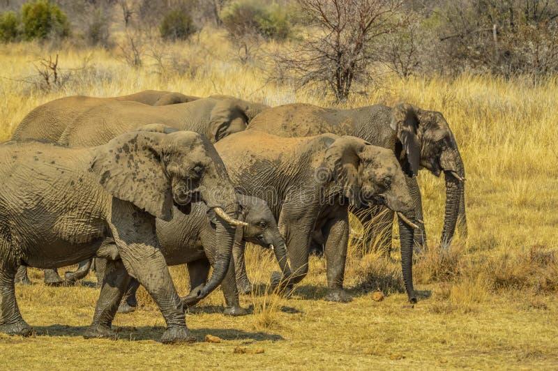 Un grande gregge degli elefanti e dei bambini che camminano nel parco nazionale di Pilanesberg immagine stock libera da diritti
