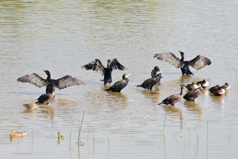 Un grande gruppo di cormorani comuni fotografia stock libera da diritti