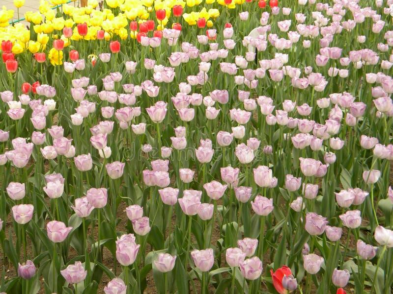 Un grande gruppo di fiori rosa del tulipano fotografia stock libera da diritti