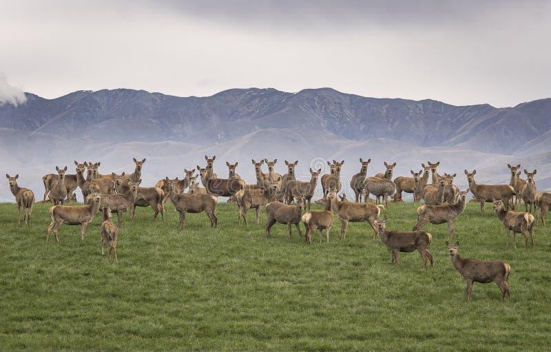 Un grande gruppo di renna selvaggia che sta sulla collina verde con la montagna si infuria nel fondo, esaminante la macchina foto fotografie stock