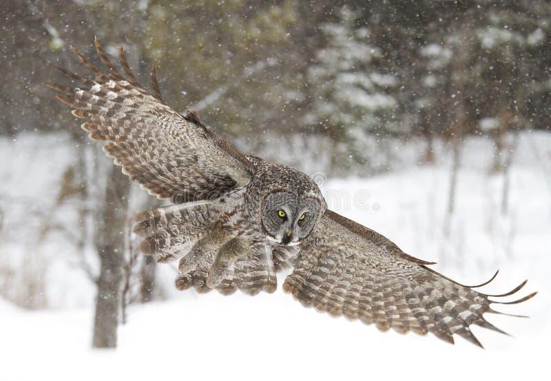 Un grande gufo grigio con la diffusione delle ali fuori prepara piombare sulla preda come le cadute della neve in Ottawa, Canada fotografia stock libera da diritti