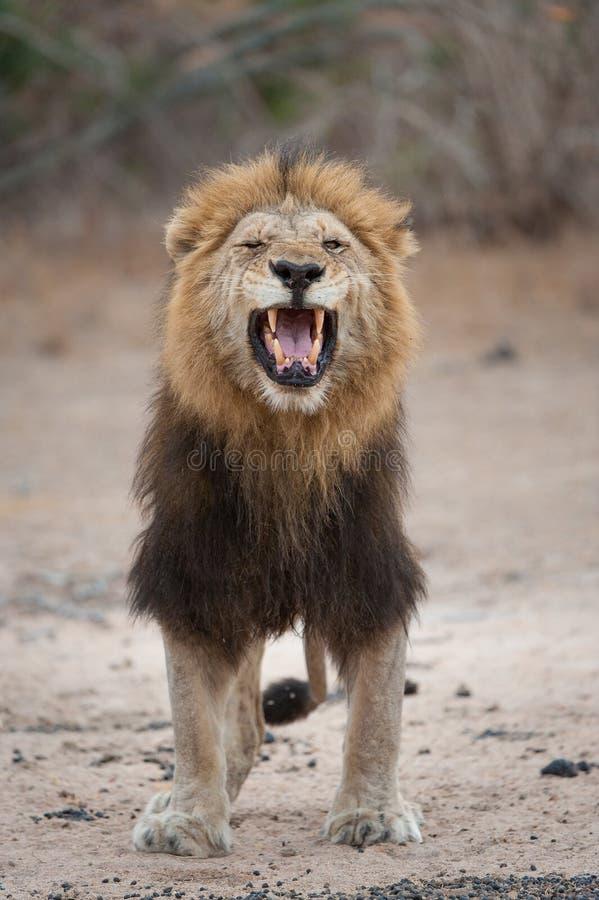 Un grande, leone nero-maned che scopre i suoi denti fotografia stock libera da diritti