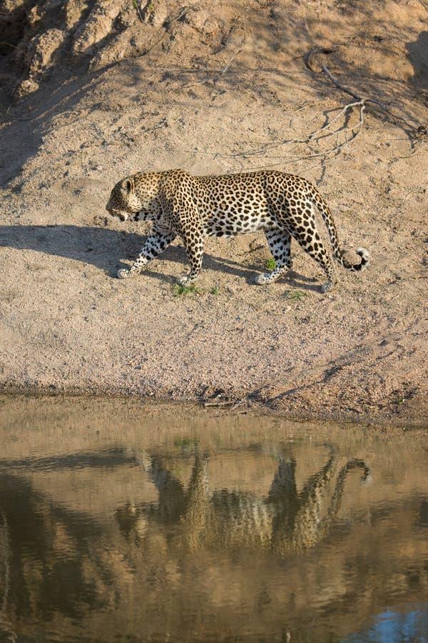 Un grande leopardo maschio ha riflesso in uno stagno dell'acqua immagini stock libere da diritti