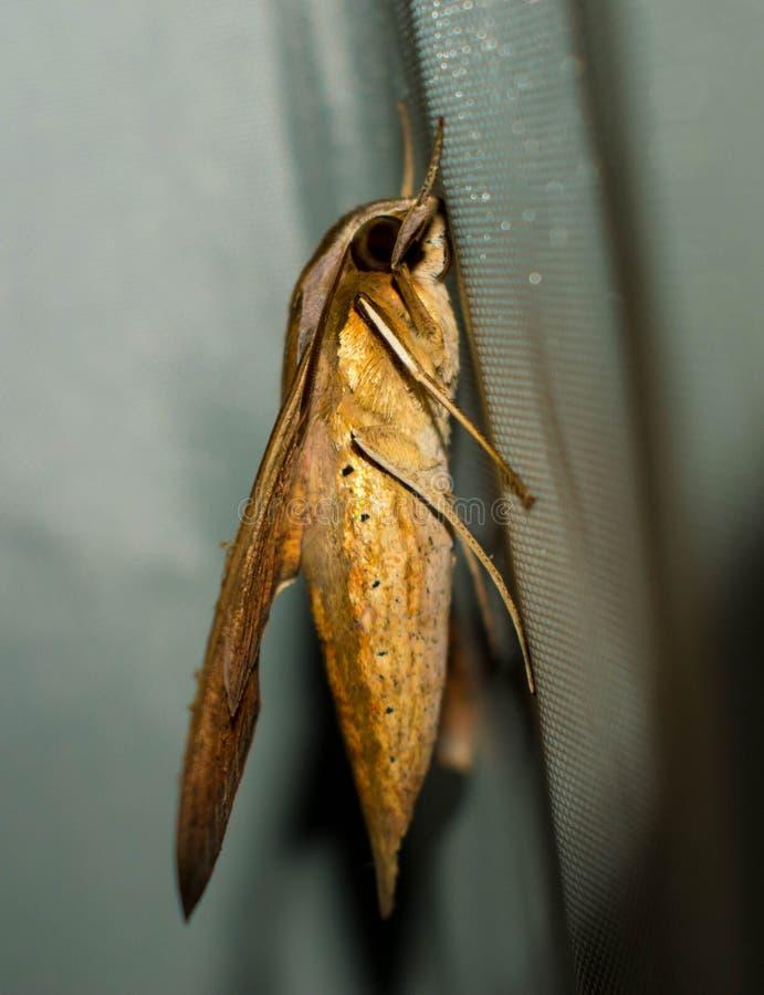 Un grande lepidottero di Brown giallo che attacca ad un panno fotografie stock
