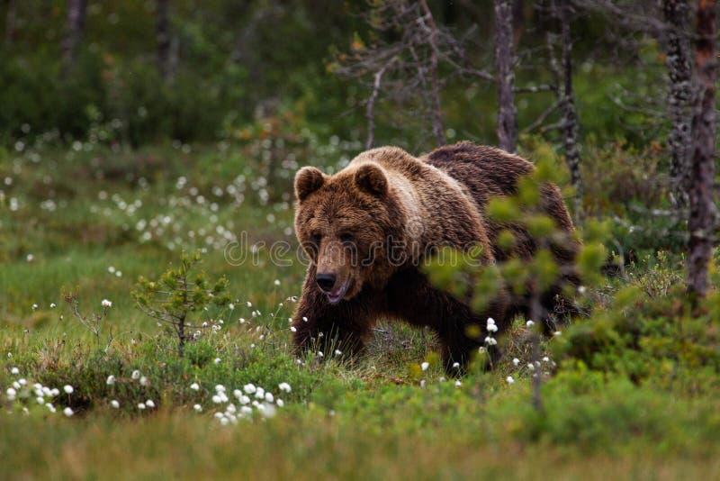 Un grande orso bruno che cammina su una zona umida in Finlandia orientale immagine stock