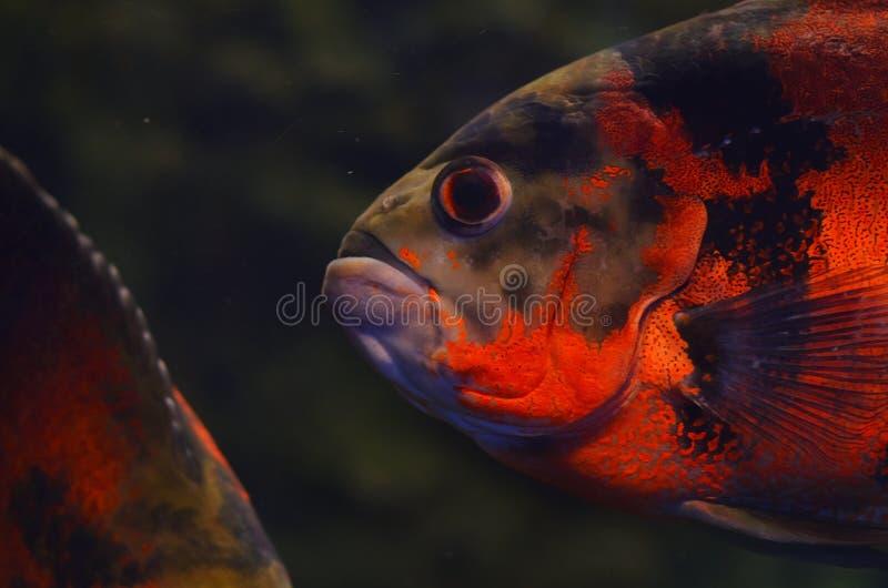 Un grande pesce arancio con i grandi occhi fotografia stock libera da diritti