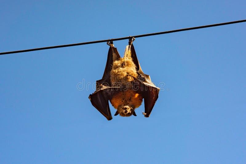 Un grande pipistrello della frutta appende pendere sottosopra da un cavo aereo di potere immagini stock
