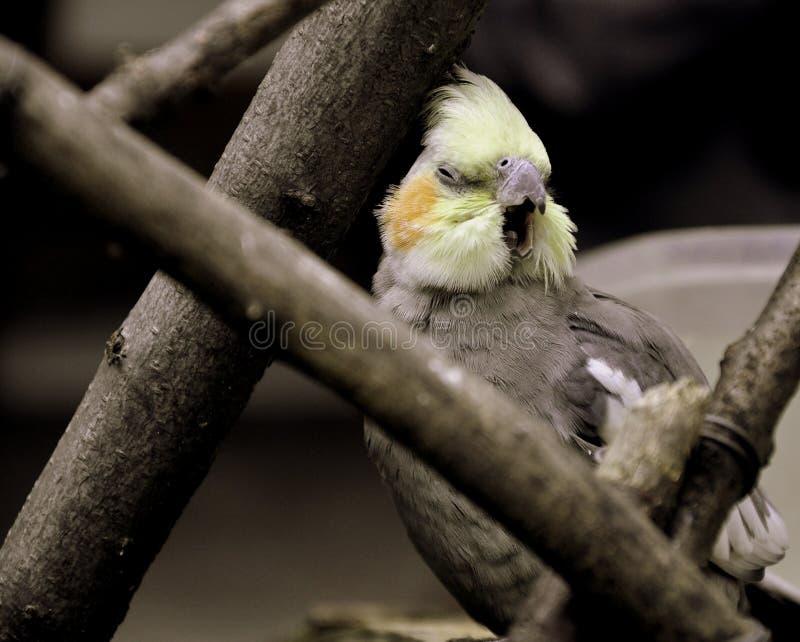 Un grande sbadiglio dell'uccello nell'Ecuador immagini stock libere da diritti