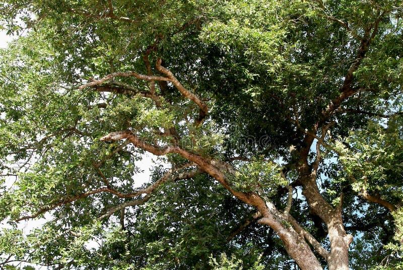 Un grandi, albero, pieni frondosi dei rami e delle foglie fotografie stock