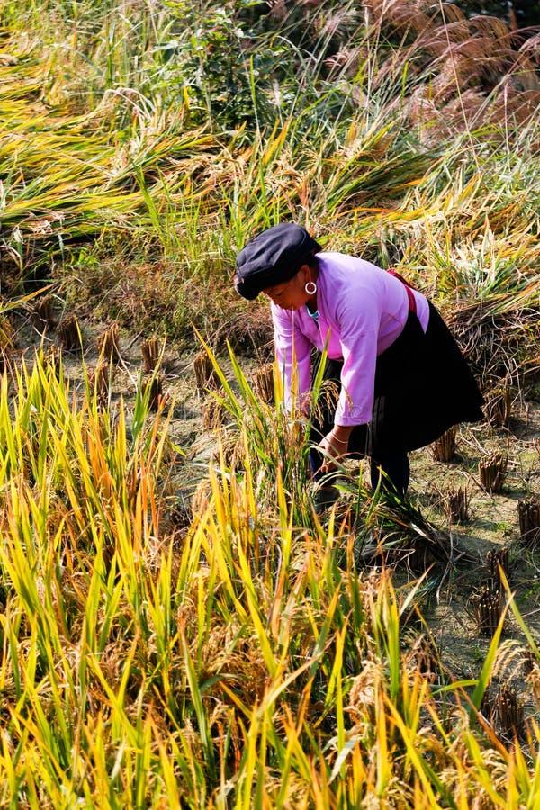 Un granjero de sexo femenino de Zhaung étnico está cosechando el arroz, China imagenes de archivo
