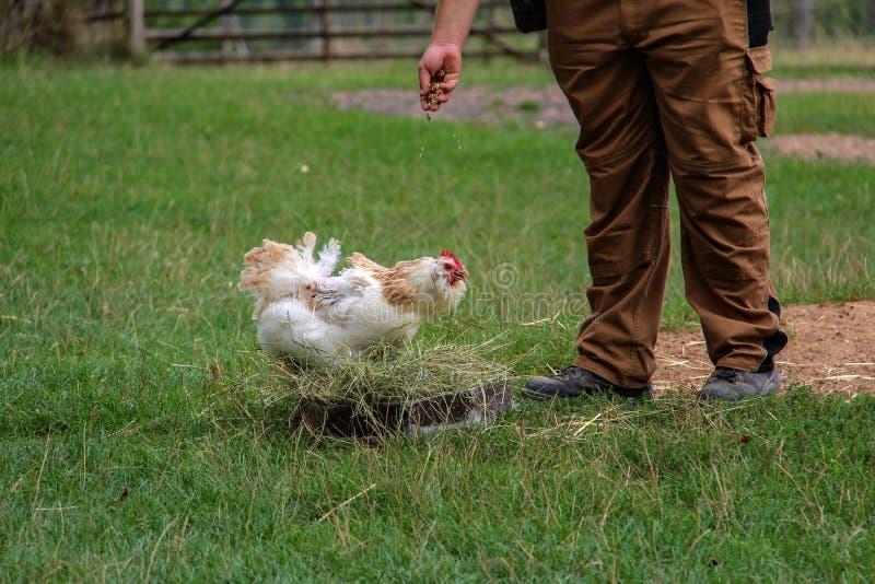 Un granjero en el pollo de alimentación del mijo de la yarda de las aves de corral fotografía de archivo
