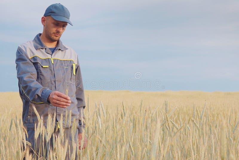 Un granjero joven comprueba las plantas en un campo del centeno Copie el espacio fotos de archivo libres de regalías