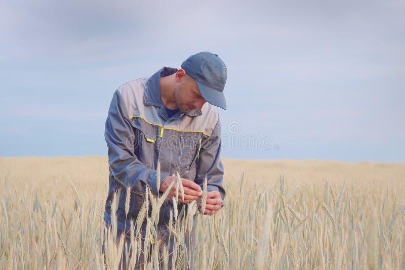 Un granjero joven comprueba las plantas en un campo del centeno Copie el espacio imagenes de archivo