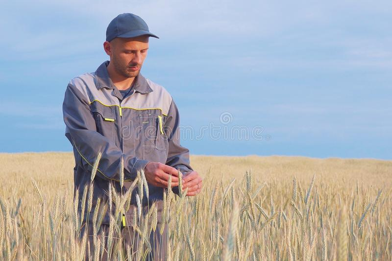 Un granjero joven comprueba las plantas en un campo del centeno Copie el espacio fotografía de archivo libre de regalías
