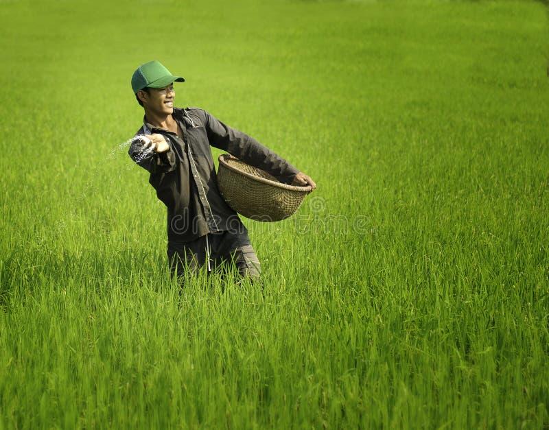 Arroz de cultivación en Vietnam imágenes de archivo libres de regalías