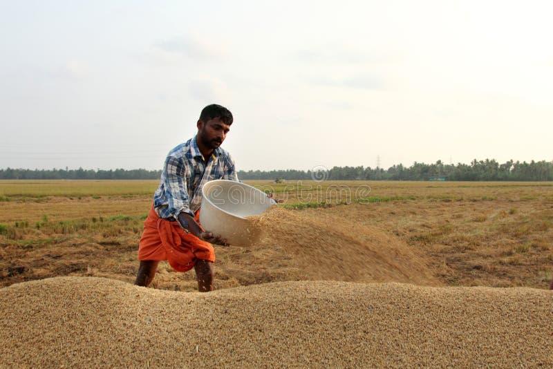 Un granjero no identificado engancha a los trabajos postharvest en los campos del arroz imagen de archivo