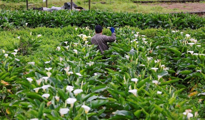 Un granjero que cosecha el lirio de arum de las calas blancas en un jardín grande con las flores hermosas en la plena floración imagen de archivo libre de regalías