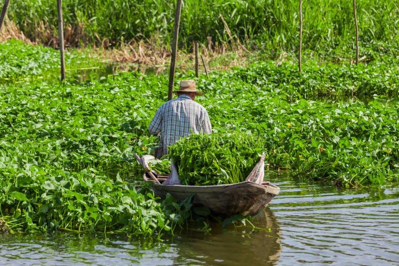 Un granjero tailandés cosecha espinaca del agua fotografía de archivo