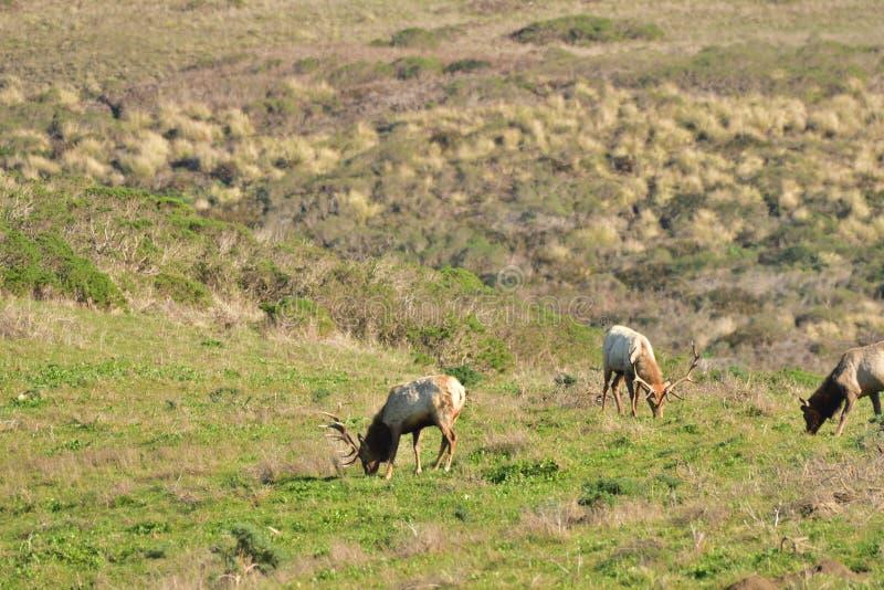 Un gregge degli alci del toro fotografia stock
