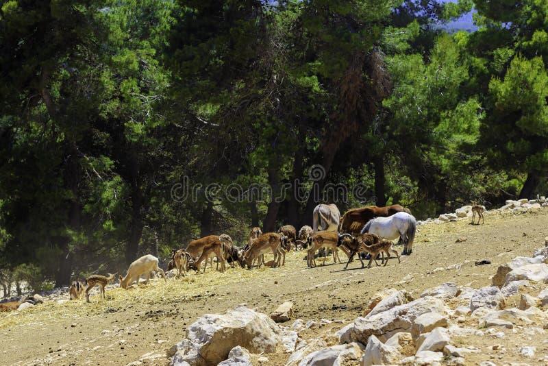 Un gregge degli animali selvatici - asini, capre, cavallini, pecore, cervi, cavalli - pasci nel vasto territorio del parco di saf immagini stock