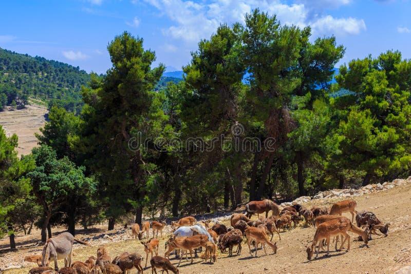 Un gregge degli animali selvatici - asini, capre, cavallini, pecore, cervi, cavalli - pasci nel vasto territorio del parco di saf fotografia stock libera da diritti