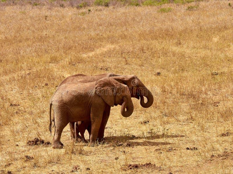 Un gregge degli elefanti è selvaggio e martellante nel safari nel Kenia, Africa Alberi ed erba fotografie stock libere da diritti