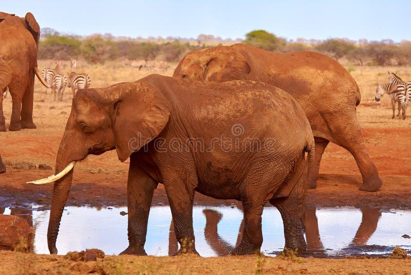 Un gregge degli elefanti è selvaggio e martellante nel safari nel Kenia, Africa Alberi ed erba immagine stock libera da diritti