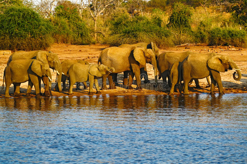 Un gregge degli elefanti africani che bevono ad un waterhole che solleva i loro tronchi, parco nazionale di Chobe, Botswana, Afri fotografie stock