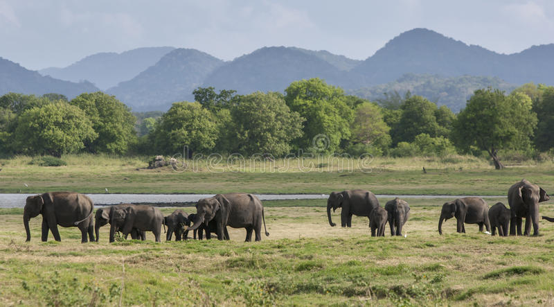 Un gregge degli elefanti pasce accanto al carro armato & al x28; reservoir& artificiale x29; al parco nazionale di Minneriya nell fotografie stock libere da diritti