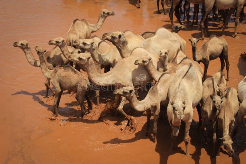 Un gregge dei cammelli si raffredda nel fiume un giorno di estate caldo Il Kenya, Etiopia fotografia stock libera da diritti