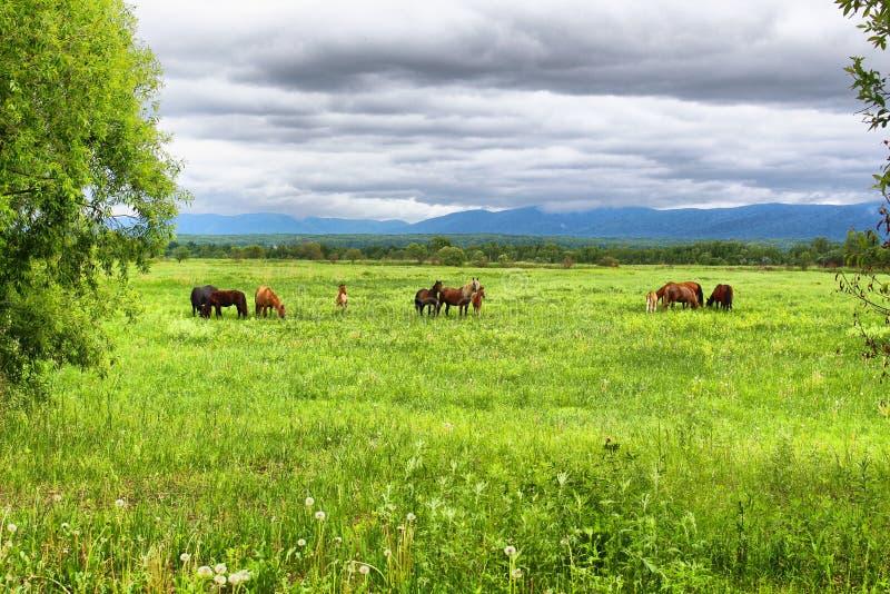 Un gregge dei cavalli è pascuto su un prato verde contro il contesto delle montagne e di un cielo nuvoloso fotografia stock libera da diritti