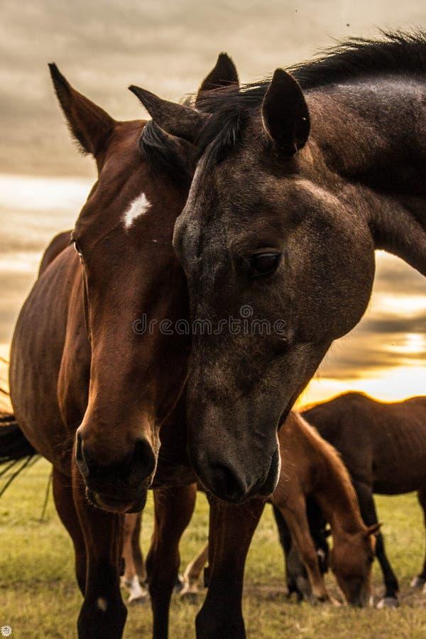 Un gregge dei cavalli pasce e gioca rumorosamente a vicenda al tramonto fotografia stock
