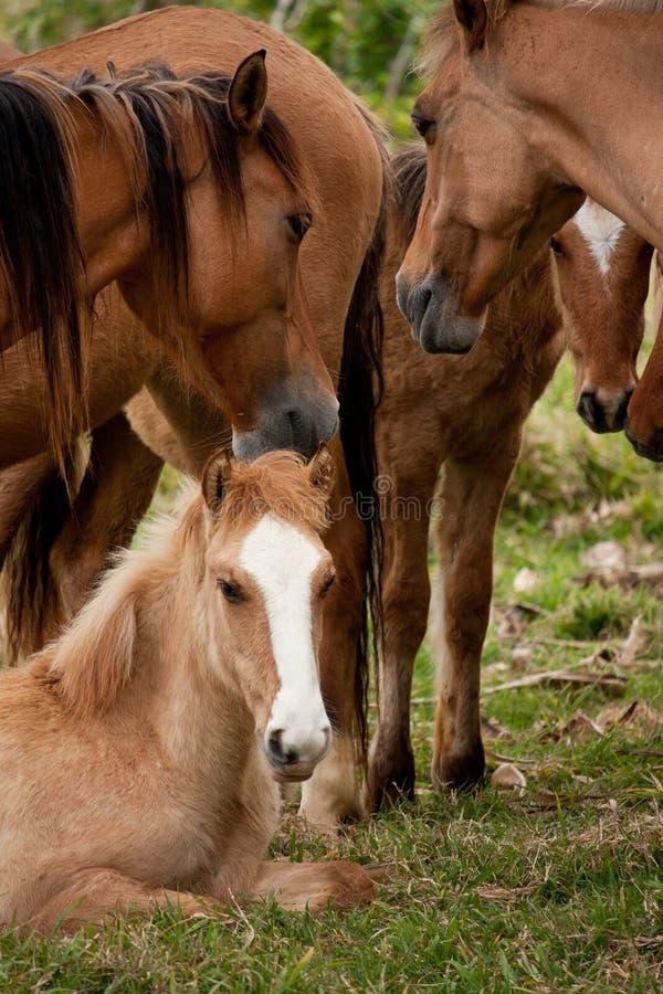 Un gregge dei cavalli selvaggii con un giovane cavallo che si siede nel Tonga fotografia stock