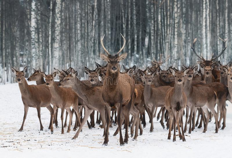 Un gregge dei cervi dei sessi differenti e delle età differenti, principali da un giovane maschio curioso nella priorità alta Clo fotografie stock libere da diritti