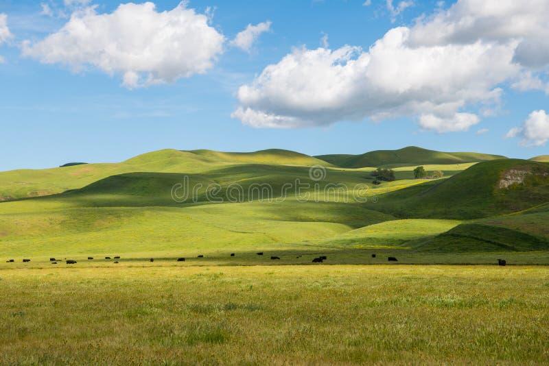 Un gregge del bestiame che pasce nei pascoli ed in Rolling Hills verdi fertili Sun-chiazzati sotto un bello cielo blu con le nuvo immagine stock libera da diritti