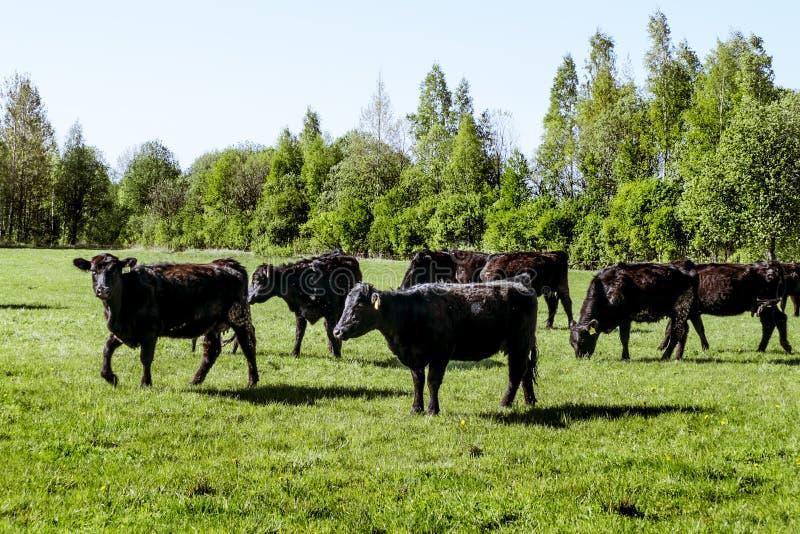 Un gregge del nero Angus della razza delle mucche che pasce in un campo verde fotografie stock