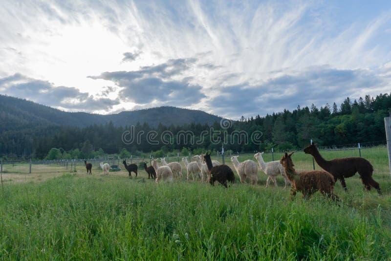 Un gregge dell'alpaca che si dirige a casa immagini stock libere da diritti