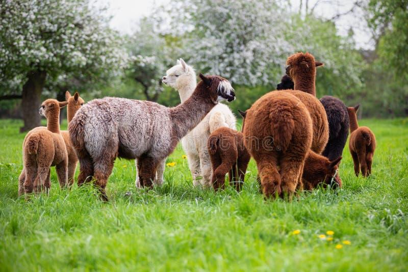 Un gregge dell'alpaca immagine stock