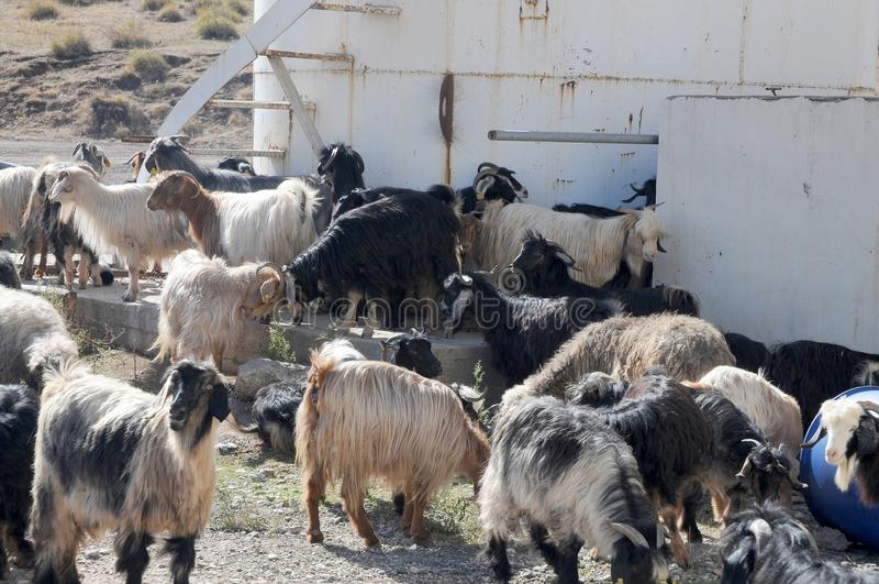 Un gregge delle capre su un'azienda agricola nell'Anatolia orientale, Turchia immagine stock