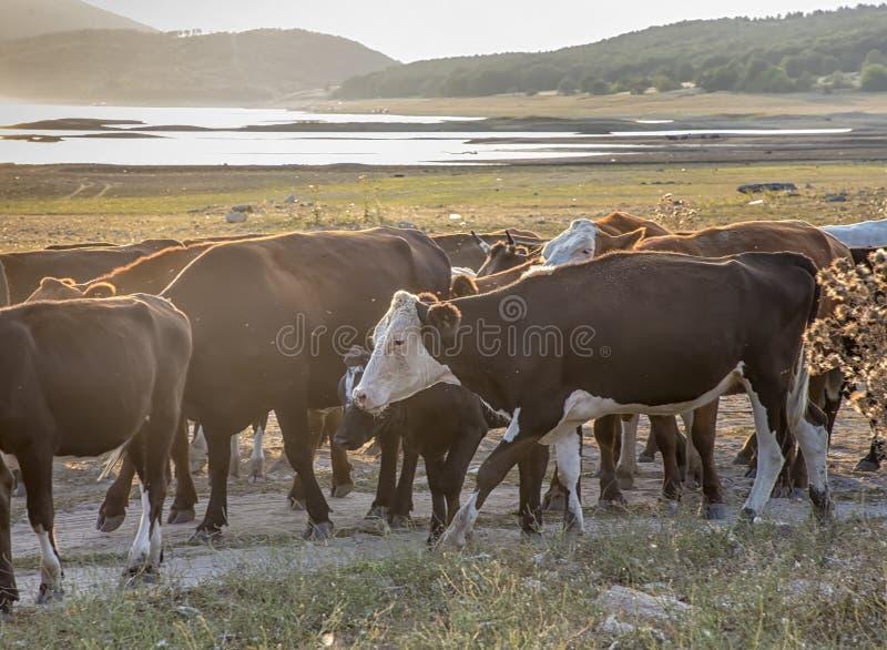 Un gregge delle mucche guida a casa dal pascolo immagine stock libera da diritti