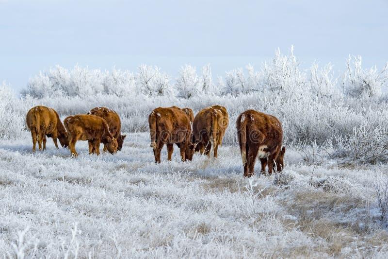 Un gregge delle mucche nella steppa calmucca nell'inverno Tutta la vegetazione coperta di strato spesso di gelo fotografie stock libere da diritti