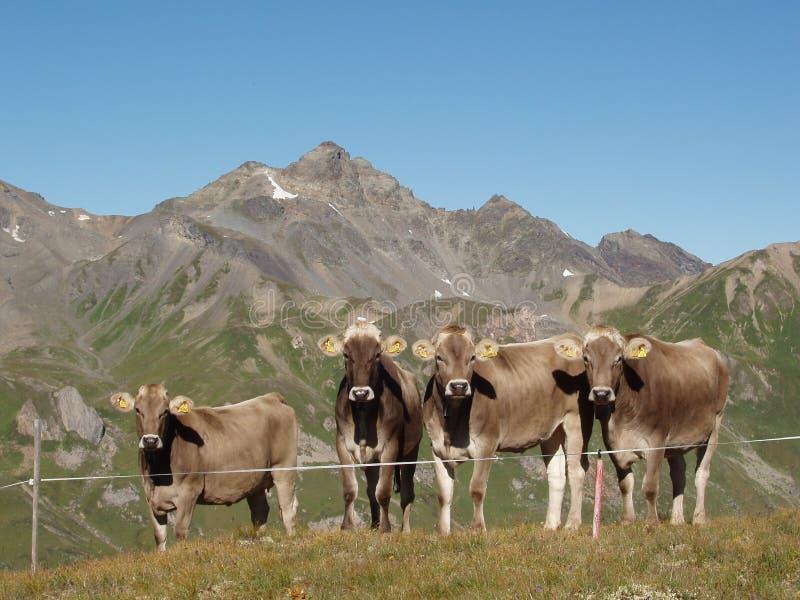 Un gregge delle mucche nelle alpi fotografia stock
