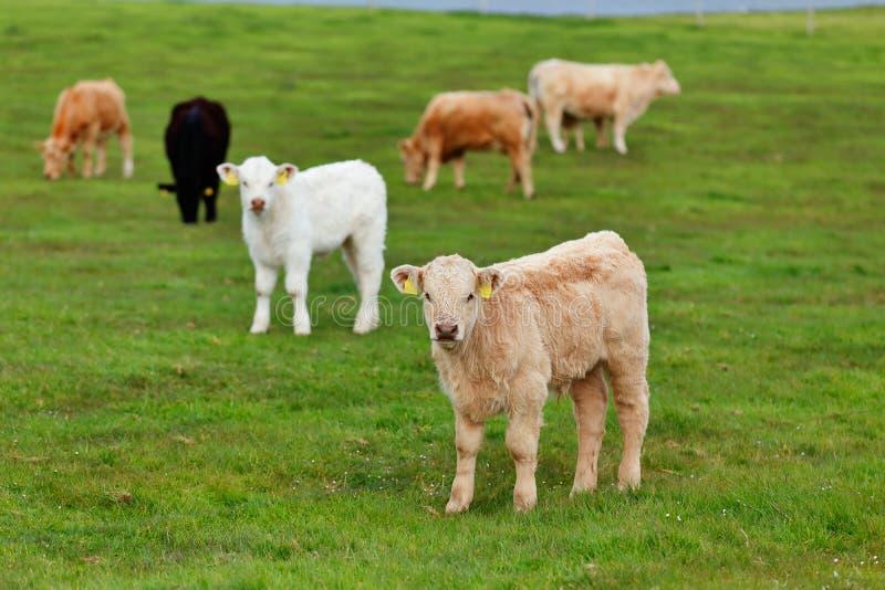Un gregge delle mucche sul vicolo del prato nell'ovest dell'Irlanda immagini stock