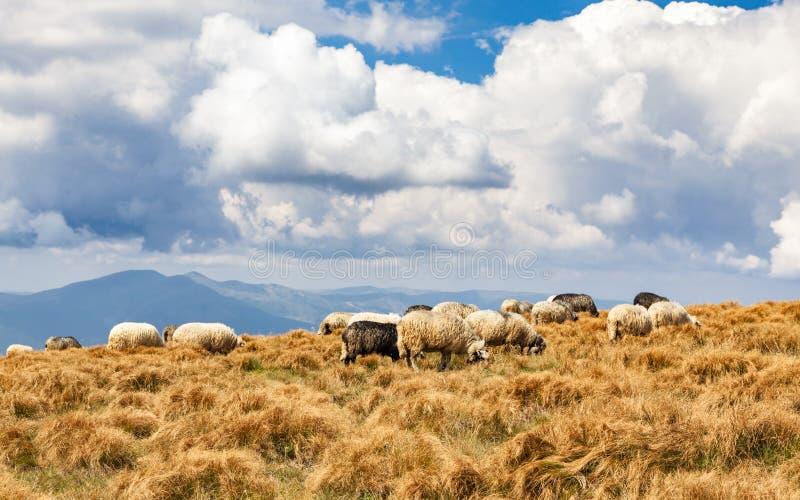 Un gregge delle pecore fotografia stock libera da diritti