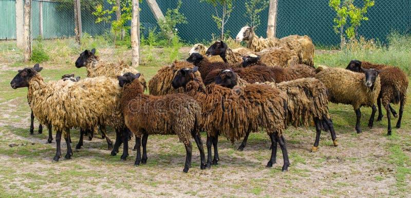 Un gregge delle pecore marroni scure