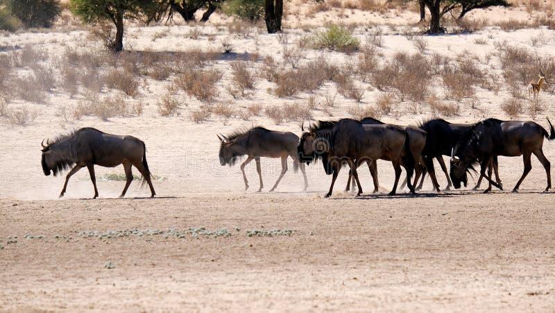 Un gregge dello gnu che si muove lungo un letto arido nel parco frontaliero di Kgalagadi fra la Namibia ed il Sudafrica immagini stock